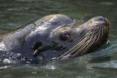 Leão de mar de Califórnia Fotos de Stock