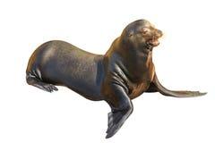 Leão de mar de Califórnia Fotografia de Stock Royalty Free