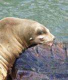 Leão de mar de Califórnia Imagem de Stock Royalty Free
