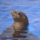 Leão de mar de Califórnia do retrato Fotos de Stock