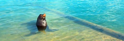Leão de mar de Califórnia que levanta no porto em Cabo San Lucas Baja Mexico foto de stock royalty free