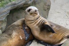 Leão de mar de descanso fotografia de stock royalty free