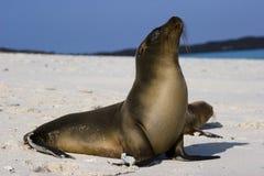 Leão de mar de Galápagos Imagens de Stock Royalty Free