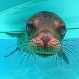 Leão de mar de Galápagos Imagem de Stock