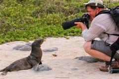 Leão de mar de Galápagos do bebê que joga com um turista em Seymour norte Imagem de Stock