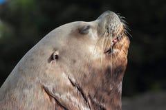 Leão de mar de Steller Fotografia de Stock Royalty Free