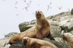 Leão de mar de Steller nas rochas que se encontram em uma ilha pequena Fotos de Stock Royalty Free