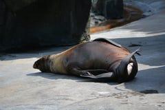 Leão de mar (desambiguação) Imagens de Stock Royalty Free