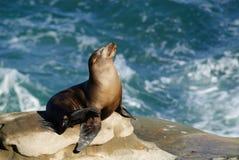Leão de mar do banho de Sun Fotografia de Stock