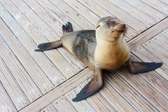 Leão de mar do bebê Foto de Stock