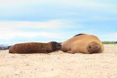 Leão de mar do bebê que amamenta com matriz Imagens de Stock Royalty Free