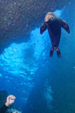 Leão de mar do mergulhador e do cachorrinho subaquático olhando o Imagem de Stock