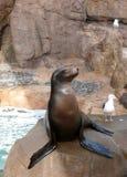 Leão de mar e gaivotas Fotos de Stock