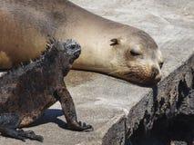 Leão de mar e iguana marinha que penduram para fora na ilha de Galápagos imagem de stock