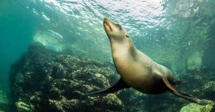 Leão de mar em La Paz, México fotos de stock royalty free