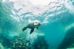 Leão de mar em La Paz, México imagens de stock