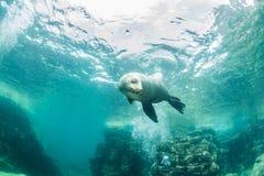 Leão de mar em La Paz, México fotos de stock