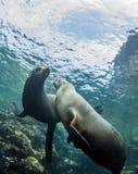 Leão de mar em La Paz, México foto de stock