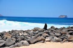 Leão de mar em rochas Foto de Stock