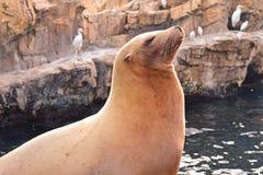 Leão de mar engraçado em Marine Theme Park na área internacional da movimentação fotos de stock