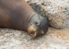 Leão de mar de Galápagos Fotografia de Stock