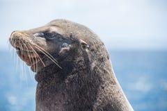 Leão de mar de Galápagos com a cicatriz na cara fotografia de stock