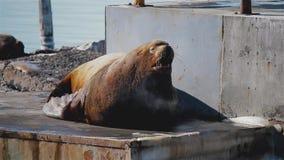 Leão de mar gordo enorme no viveiro do leão de mar em Kamchatka filme