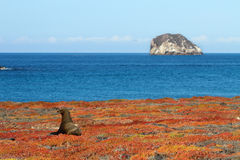 Leão de mar indesejado Foto de Stock