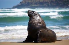 Leão de mar masculino na praia fotos de stock royalty free