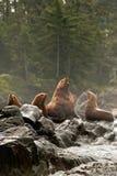 Leão de mar masculino Vocalizing Imagens de Stock
