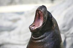 Leão de mar mouthed grande Imagens de Stock Royalty Free