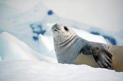 Leão de mar na muda Imagens de Stock Royalty Free