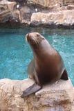 Leão de mar na rocha imagens de stock
