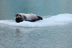 Leão de mar no floco do gelo Imagens de Stock Royalty Free