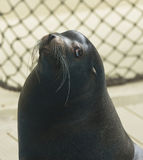 Leão de mar no jardim zoológico fotos de stock royalty free