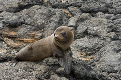Leão de mar nos consoles de Galápagos Fotografia de Stock Royalty Free