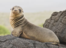 Leão de mar novo Fotografia de Stock