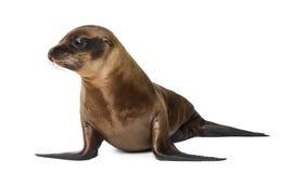 Leão de mar novo de Califórnia Fotos de Stock Royalty Free