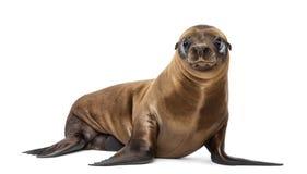 Leão de mar novo de Califórnia Fotografia de Stock