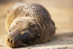 Leão de mar novo, Galápagos Imagens de Stock