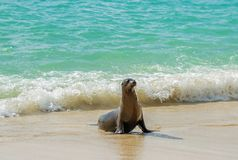 Leão de mar novo de Galápagos, Ilhas Galápagos, Equador imagem de stock