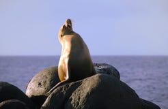 Leão de mar orgulhoso fotografia de stock