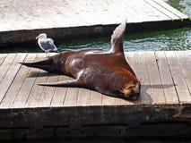 Leão de mar que Basking no Sun fotos de stock royalty free
