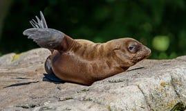 Leão de mar que descansa em uma rocha Sua escala estende do subarctic às águas tropicais do oceano global fotos de stock
