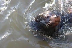 Leão de mar que desliza na água Fotografia de Stock Royalty Free
