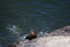 Leão de mar que escala acima uma rocha em Oregon Foto de Stock Royalty Free