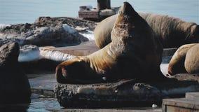 Leão de mar que levanta no viveiro do leão de mar em Kamchatka video estoque