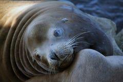 Leão de mar que olha à câmera Fotografia de Stock