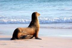 Leão de mar que olha o oceano Imagem de Stock