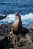 Leão de mar que toma sol no sol Fotos de Stock Royalty Free